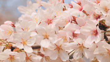 Cherry Blossom (Sakura) Items Pick Up